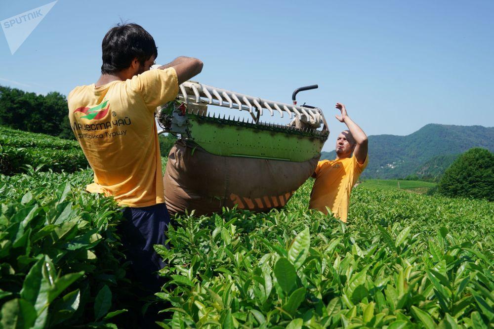 索契茶叶采摘