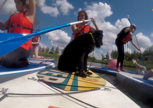 双倍欢乐:狗狗参加SUP桨板冲浪赛