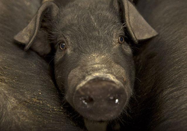 中国农业农村部:今年全球非洲猪瘟疫情形势十分严峻