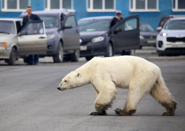 俄气象部门解释北极熊何时会从冰上离开楚科奇的村庄