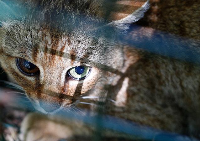 神秘的猫狸可能是一种新物种