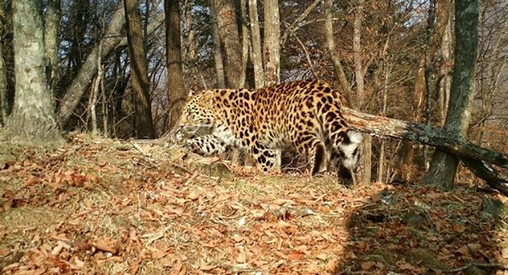 """滨海边疆区一头豹子在俄中边境口岸附近""""迷路"""""""