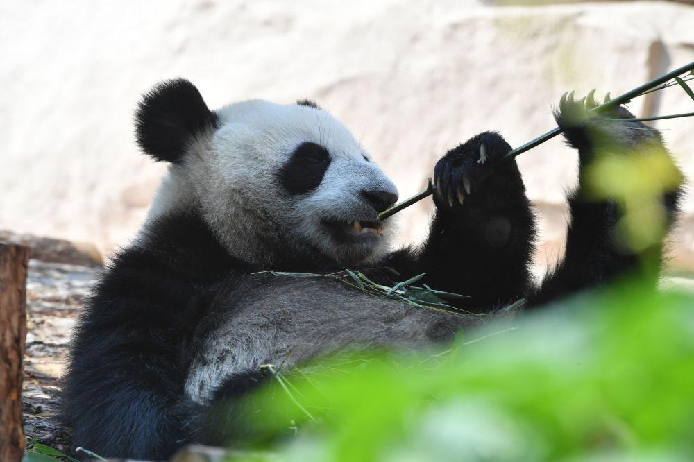 由中国移交给莫斯科动物园的大熊猫