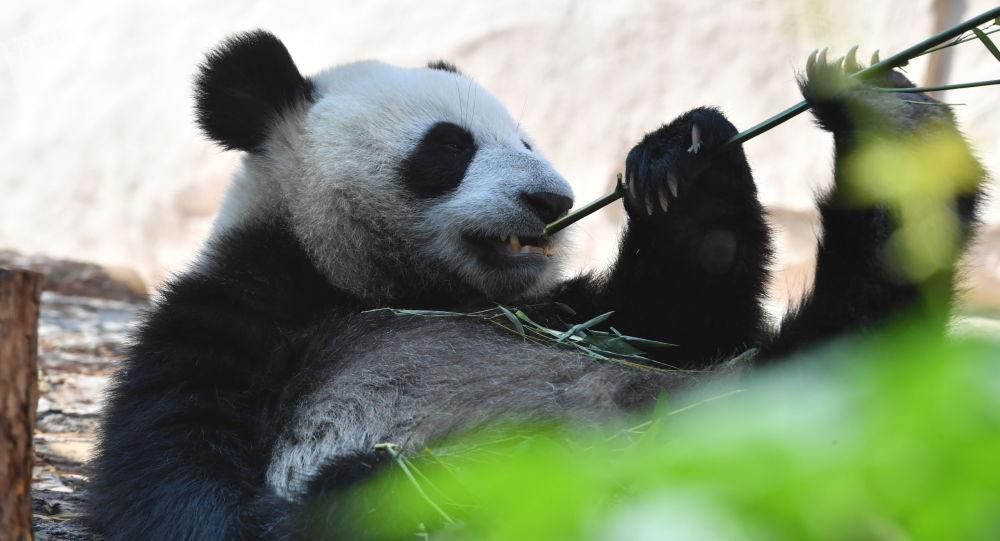 """莫斯科动物园将为""""丁丁""""和""""如意""""隆重庆生"""