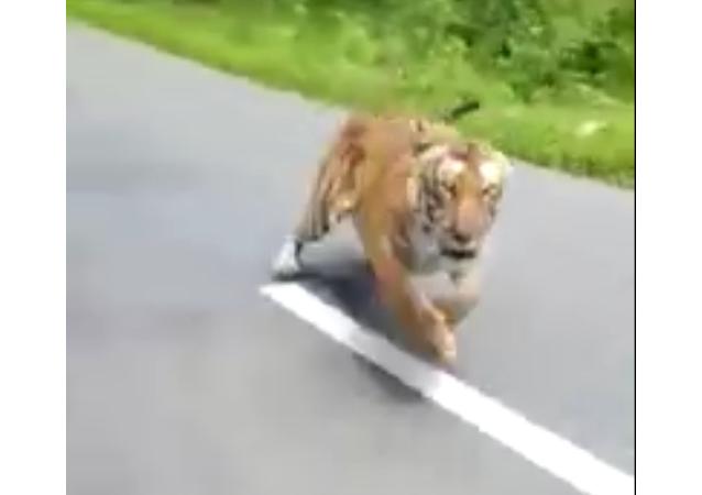 印度拍到老虎追逐骑摩托车的人