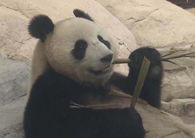 大熊猫日常生活在线直播