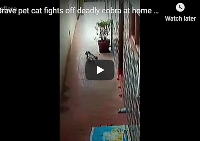 印度家猫勇斗眼镜蛇