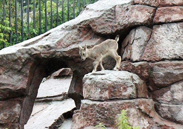 莫斯科动物园诞生一只岩羊