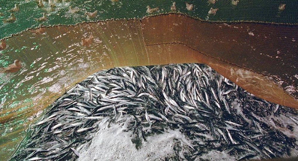 秋刀鱼捕捞