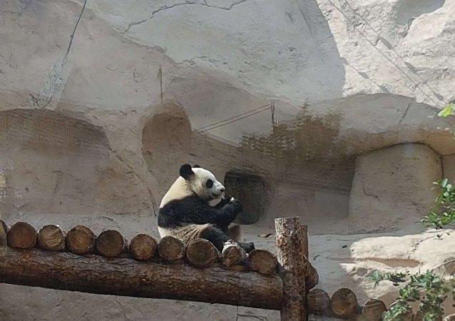 莫斯科动物园大熊猫乐见游客回归