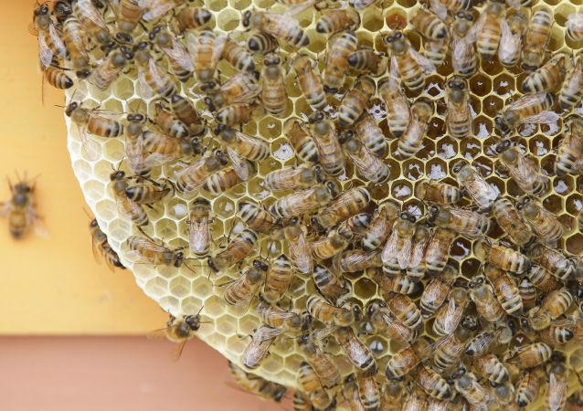 俄农业部:蜜蜂死亡不会带来农作物产量下滑的风险