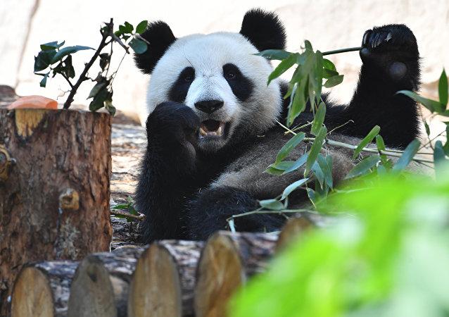 莫斯科动物园大熊猫丁丁洗澡躲避突返莫斯科的炎热