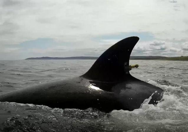 Косатка, выпущенная из китовой тюрьмы