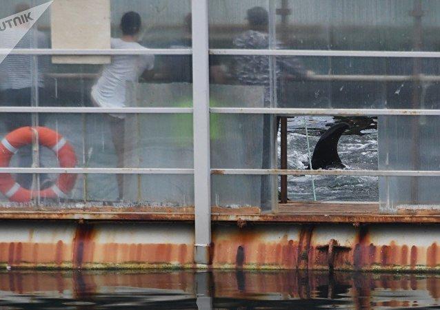 """俄学者公布从""""鲸鱼监狱""""释放白鲸的首个视频"""