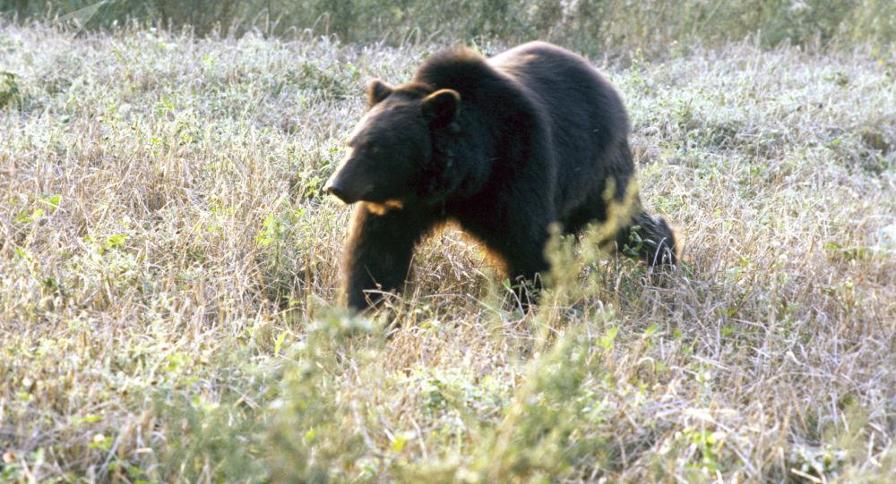 俄滨海边疆区一名猎人遭熊袭击