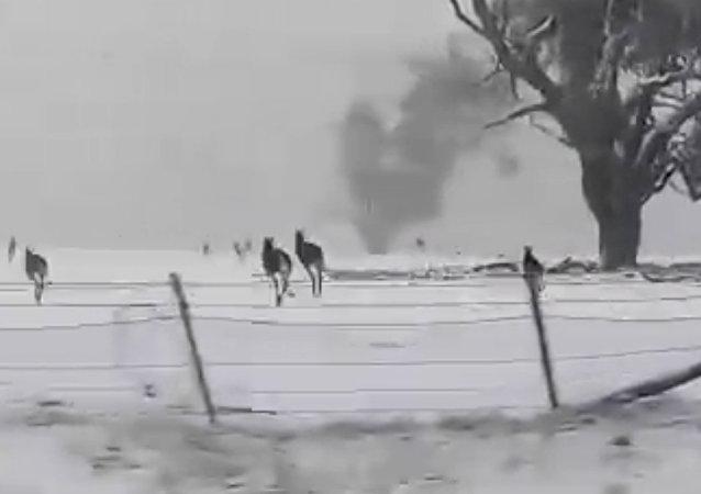 雪中的澳大利亚袋鼠兴奋异常