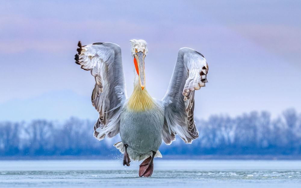 卷羽鹈鹕翼下:鸟类摄影师奖最佳作品