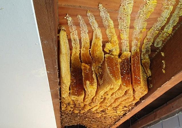 蜜蜂在澳大利亚妇女家里的天花板上留下50公斤蜂蜜