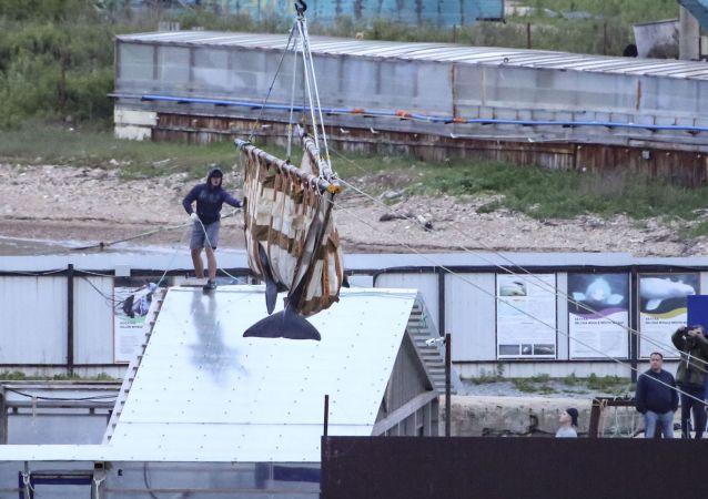 """俄远东""""鲸鱼监狱""""最后一批虎鲸已被运往放归地点"""