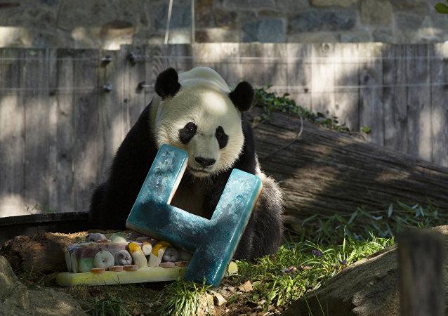 """大熊猫""""贝贝""""庆祝在美国的最后一个生日并将很快前往中国"""