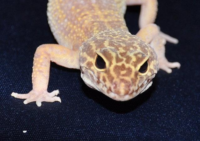 科学家利用基因编辑技术培育出白化蜥蜴