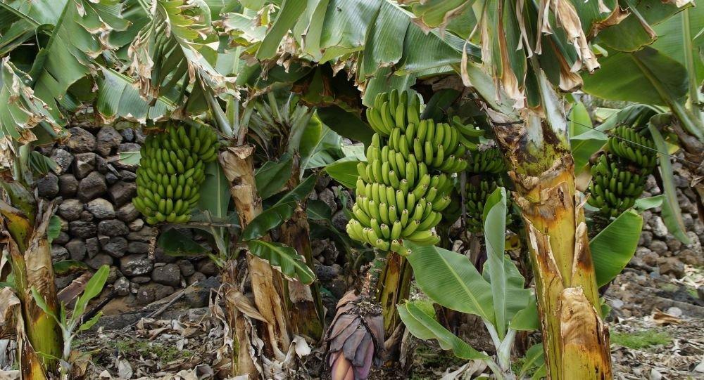 到2050年气候变化或将导致香蕉消失
