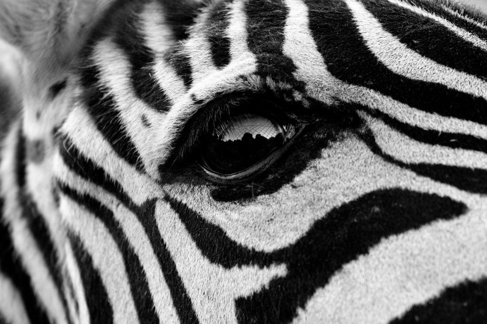 斑马的眼睛。作者:Sara Pinto Marin(西班牙)。