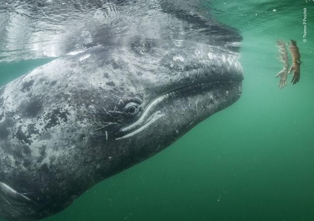 鲸鱼能拯救地球免受温室气体侵害
