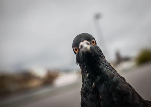 科学家称因人类头发鸽子正在失去其脚趾