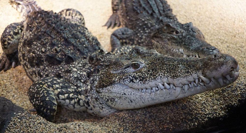 卡斯特罗的鳄鱼咬掉瑞典老人的手