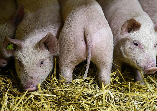 专家预测非洲猪瘟将致全球四分之一的猪死亡
