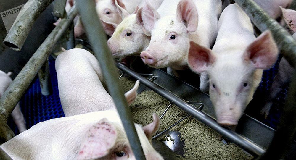 中国农业农村部:内蒙古鄂尔多斯从外省违规调入仔猪中排查出非洲猪瘟疫情