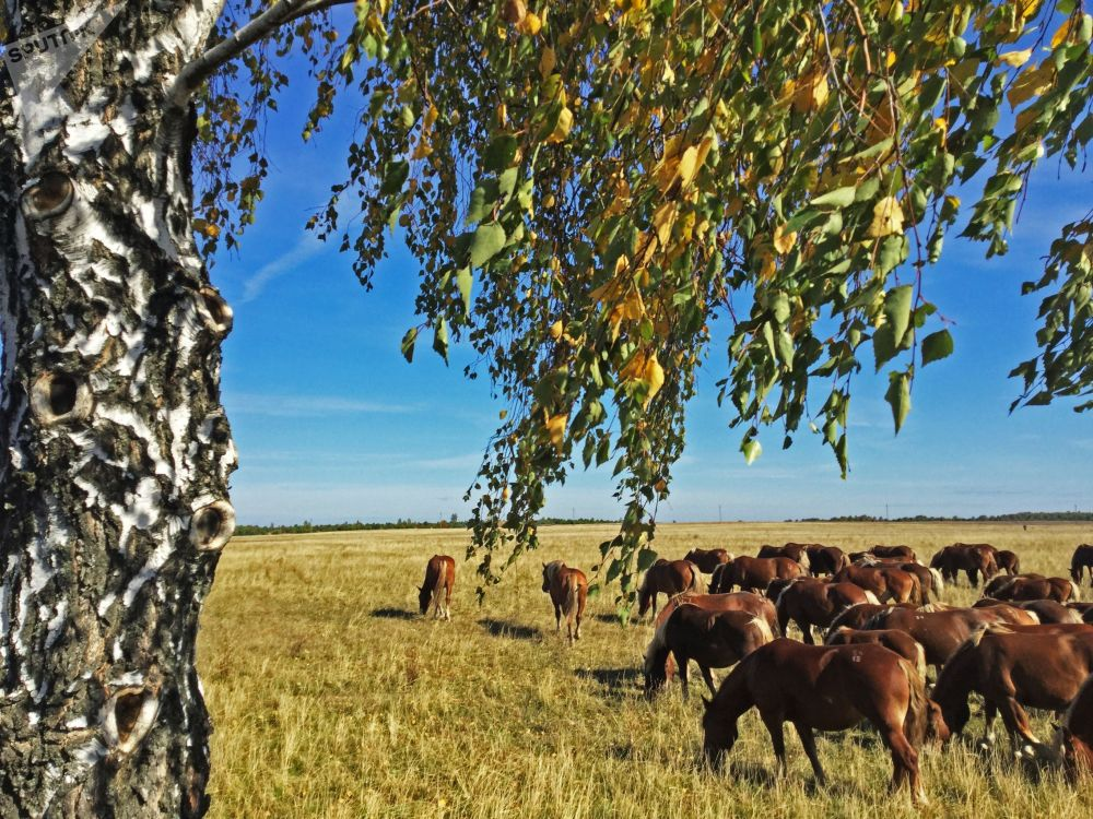试验农场在波列斯基辐射生态保护区放牧的马匹