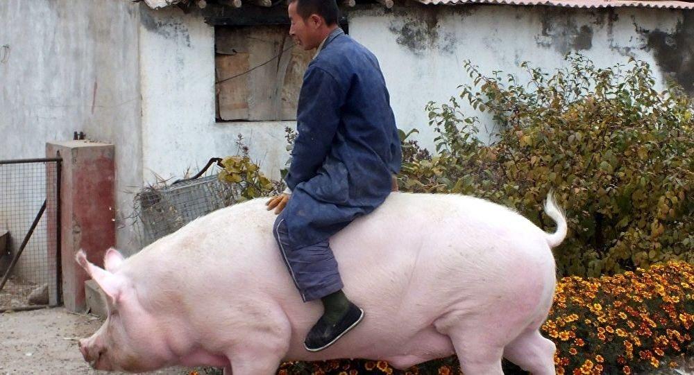 专家:养巨型猪不符合科学饲养规律