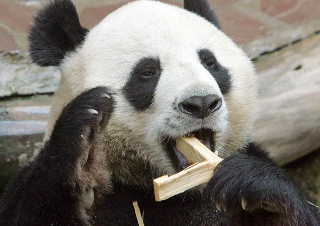 大熊猫(资料图片)