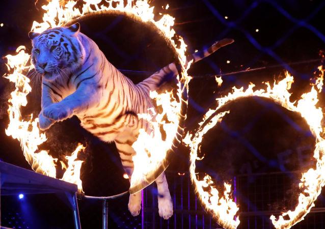 加利福尼亚州将禁售皮草产品并禁止马戏团使用动物