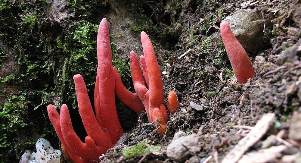 """""""鹿角蘑菇""""(Podostroma cornu-damae )"""