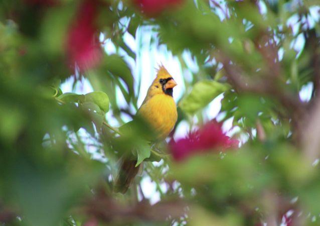 一只颜色比较罕见的北美红雀被拍到