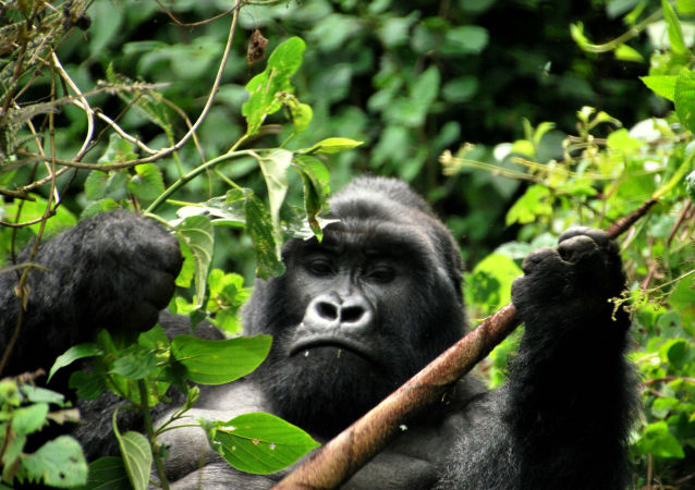 乌干达法院判处杀害大猩猩男子11年有期徒刑