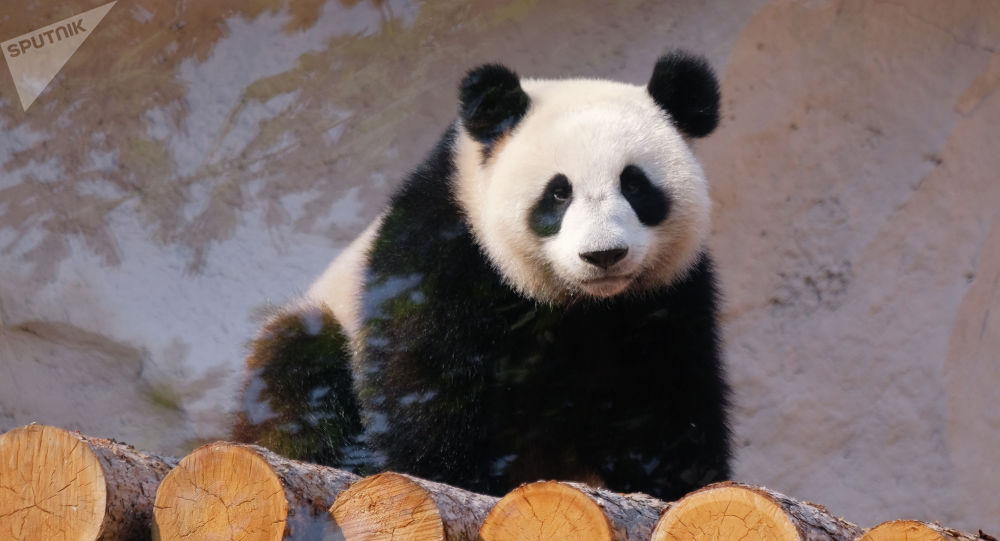 莫斯科动物园获得2019全球大熊猫奖三项奖牌