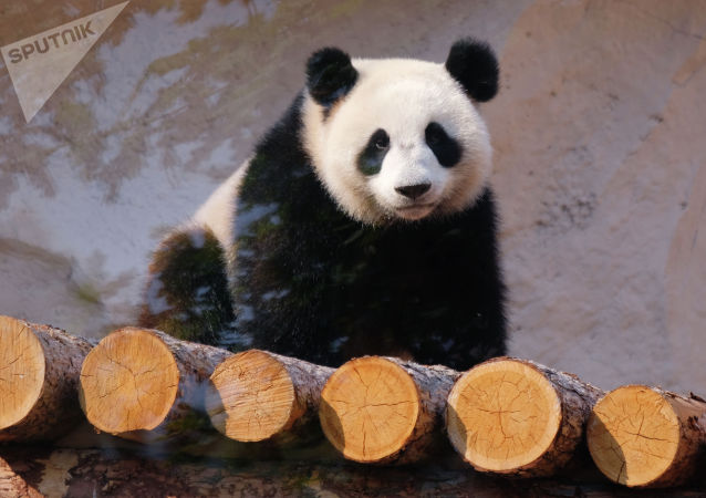 """莫斯科动物园熊猫""""丁丁""""和""""如意""""获全球大熊猫奖提名"""