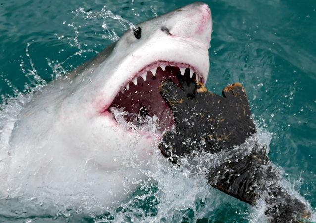 新西兰冲浪者徒手击退大白鲨
