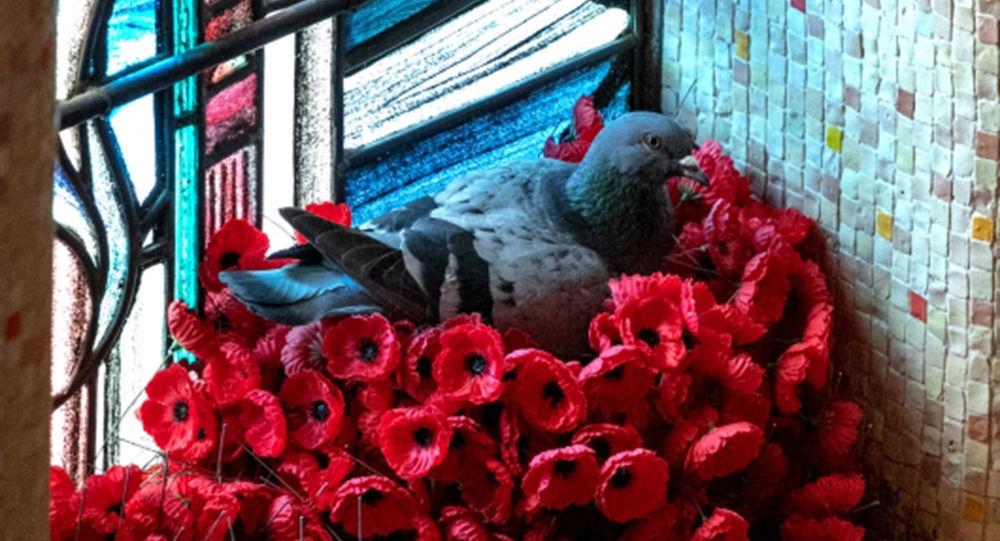 鸽子用战争纪念馆里的罂粟花筑巢