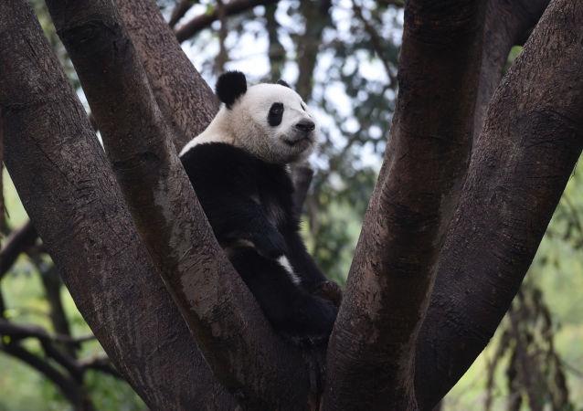 中国成立首个大熊猫国家公园法庭