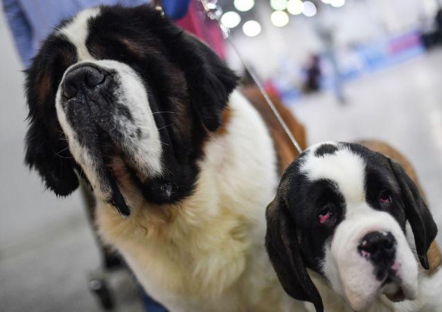 俄紧急情况部解释为何圣伯纳犬不再用作搜救犬