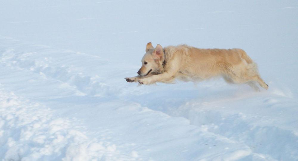 俄罗斯犬学专家介绍在狗感冒时如何帮助它