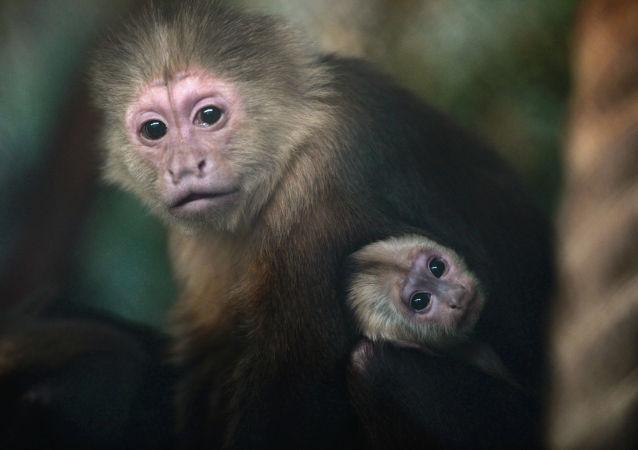 """天津动物园为""""人脸猴""""找对象"""