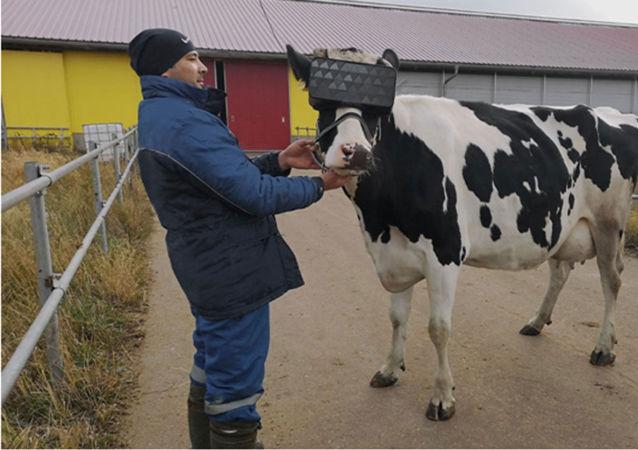 莫斯科州一农场为奶牛佩戴VR眼镜