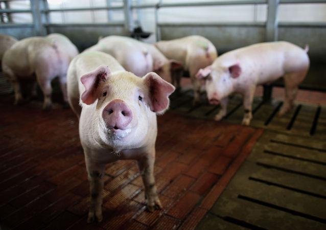 俄哈巴罗夫斯克边疆区发现首例非洲猪瘟