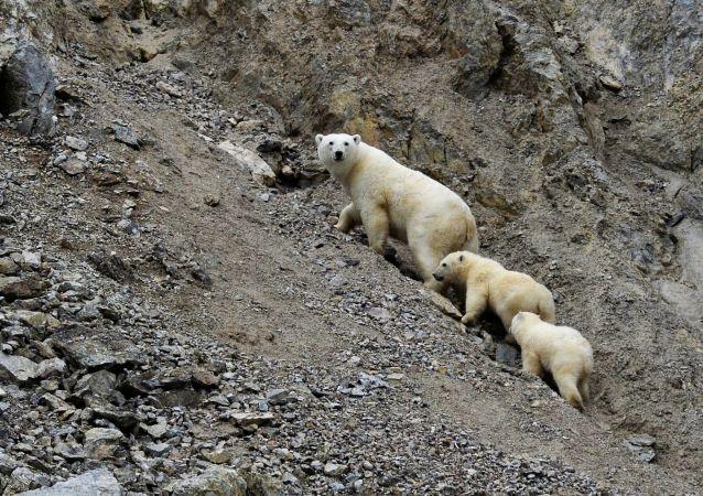 俄罗斯将首次完全统计北极熊的数量